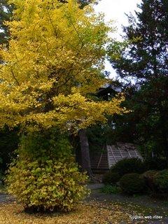 忍野村承天寺の銀杏