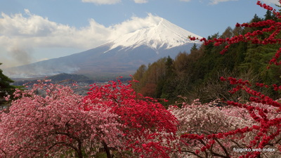 富士孝徳公園近くのハナモモ