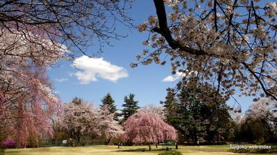 富士ビューホテル庭園の桜