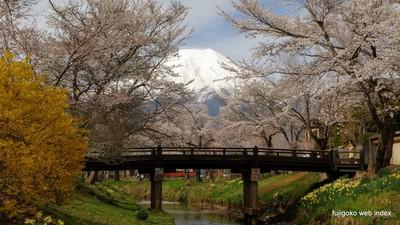 忍野新名庄川沿いの桜