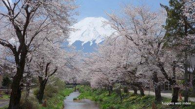 忍野村 新名庄川沿いの桜と富士山2015