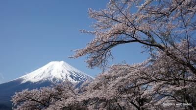 富士吉田市孝徳公園より桜と富士