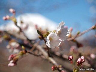 山中湖の桜も咲き始めました