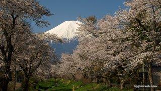 忍野村お宮橋の桜