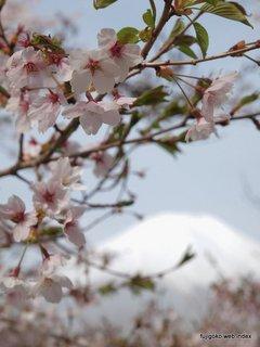山中湖の桜は嵐に耐えました