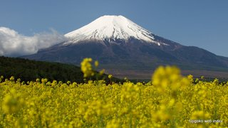 忍野で菜の花と富士山