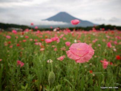 梅雨空とポピーと富士山