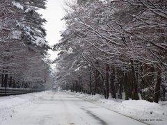 ハリモミ純林の雪