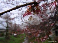 忍野お宮橋からの桜