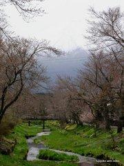 お宮橋の桜の様子