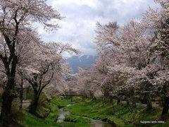 お宮橋の桜〜だいぶ咲いた