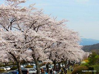 富士霊園の桜並木