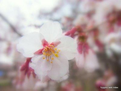 忍野の桜。まだほんの少し。