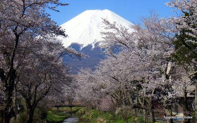忍野お宮橋の桜が見頃になりましたよ