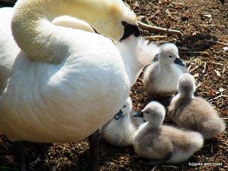 今年も白鳥の雛が誕生しました