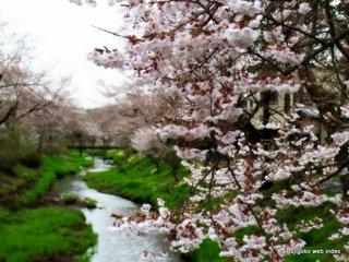 忍野村お宮橋付近の桜は今夜からライトアップされますよ