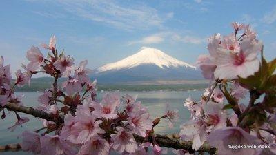 シーズン最後の桜@山中湖〜たぶん